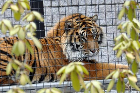 Tiger caged